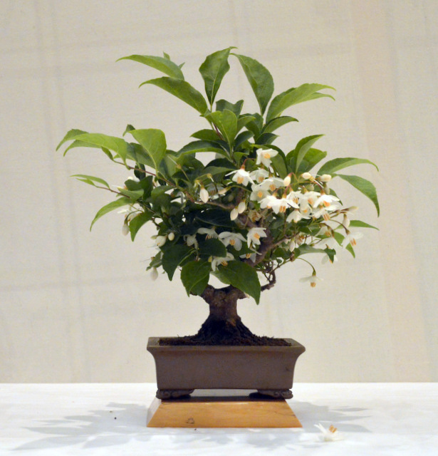 3rd place – AW, Japanese Snowbell