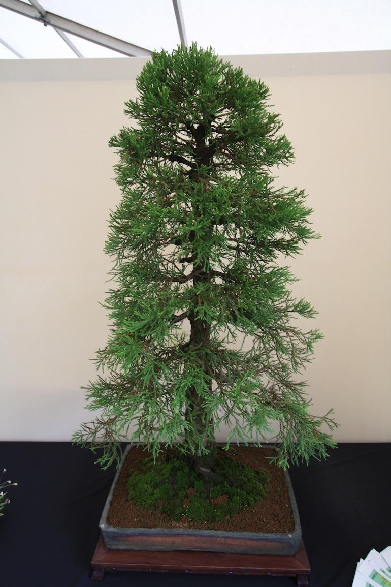 Wellingtonia (Sequoiadendron giganteum)