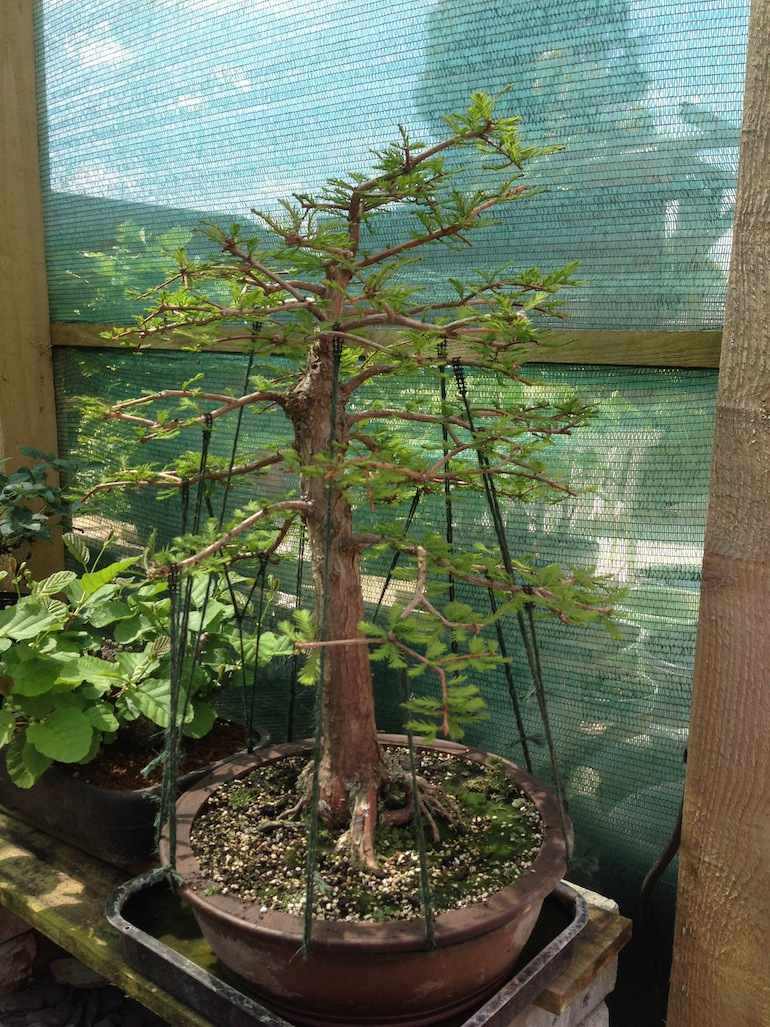 Swamp Cypress in early summer with branches being guyed into position