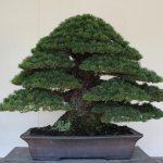 Japanese White Pine Nov 2012