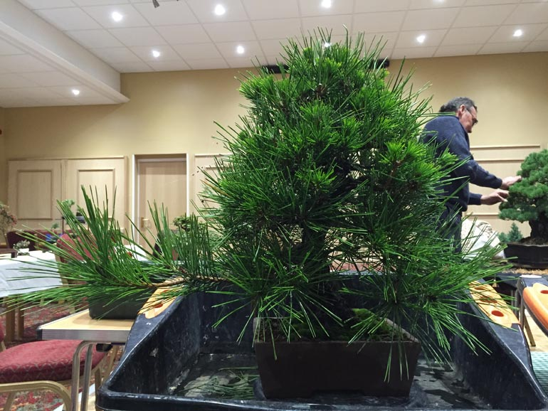 My Japanese Black Pine was in for a bit of needle plucking also