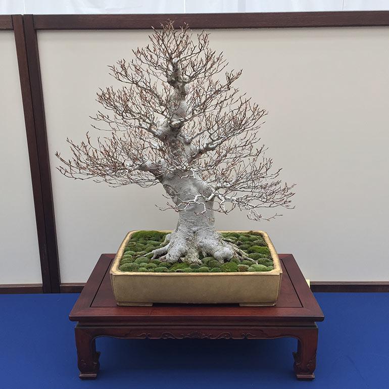 Fagus crenata, Japanese White Beech