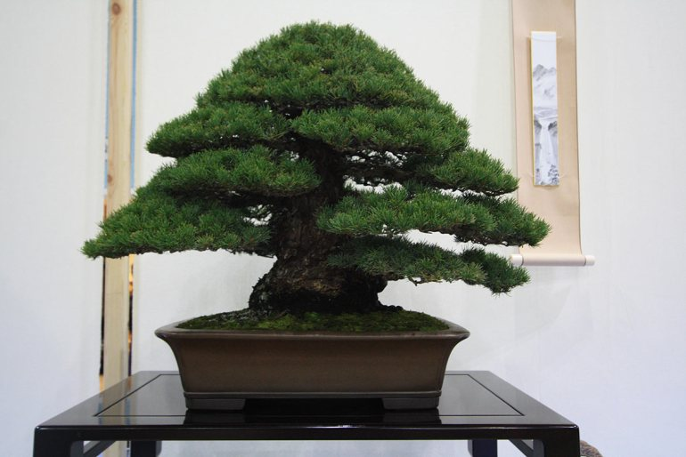 Best Conifer Tree: Mark Cooper, White Pine