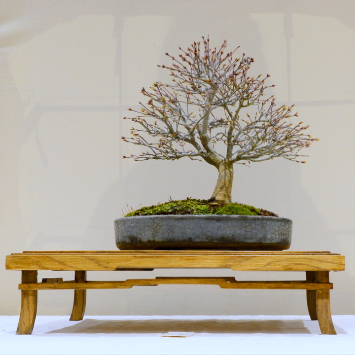 1st place, AM Japanese Acer