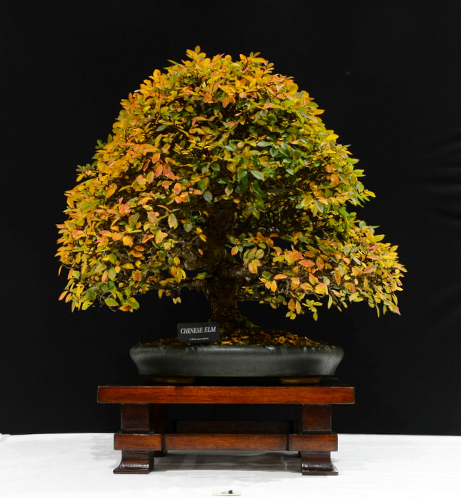 1st place, PB Chinese Elm