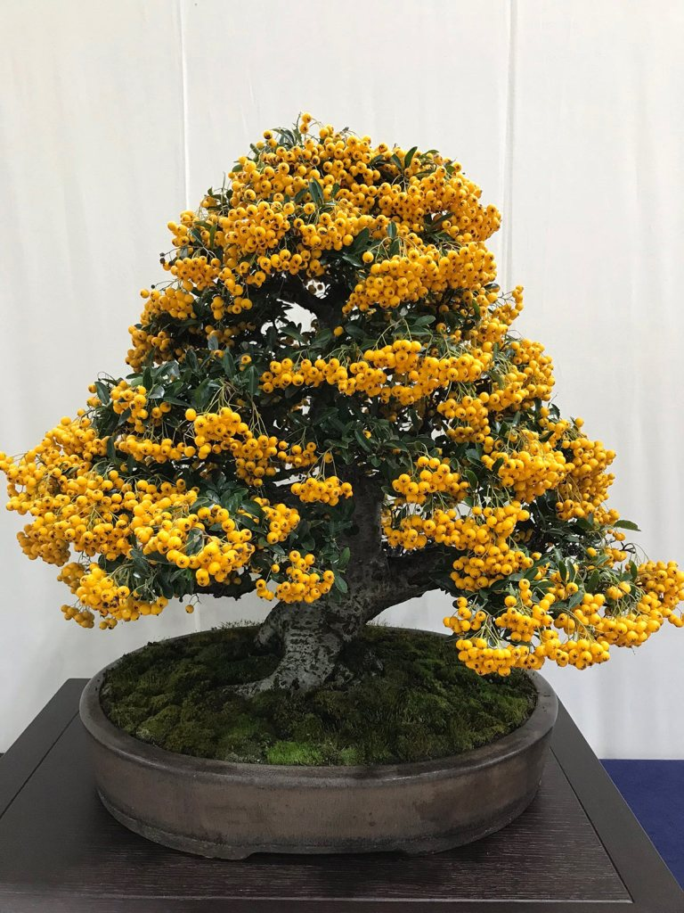 Pyracantha rosaceae bonsai in 2018
