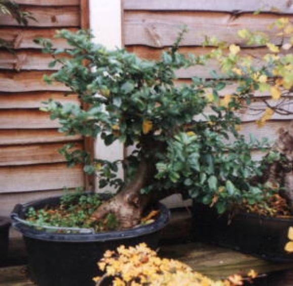 Pyracantha year after being dug up