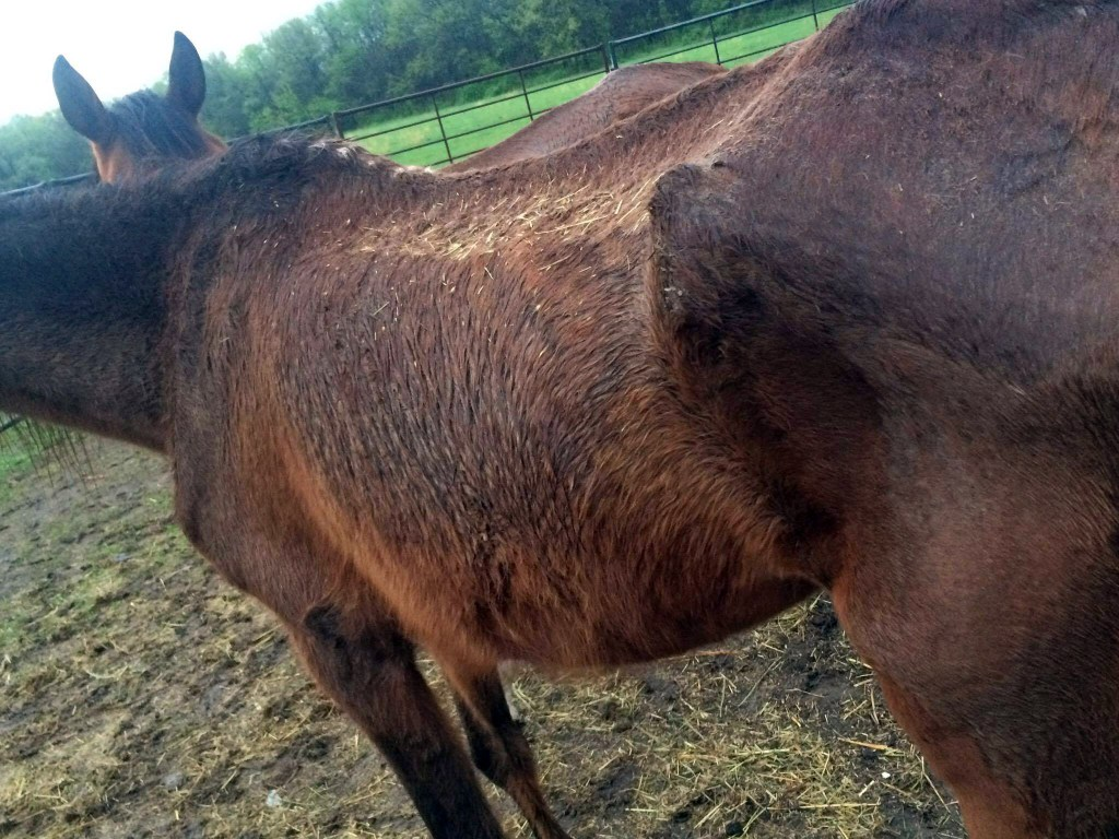Image of starved Arab mare