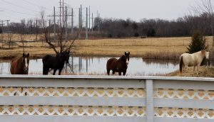 Horses on the pond at Swingin' D Horse Rescue
