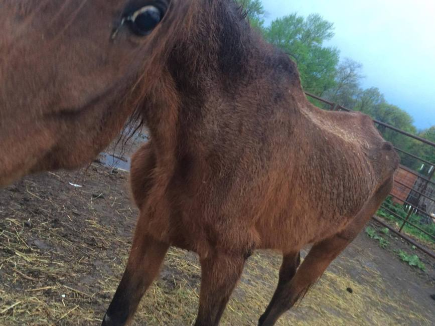 This horse was with a group of horses nearly starved to death at an Arkansas quarantine.