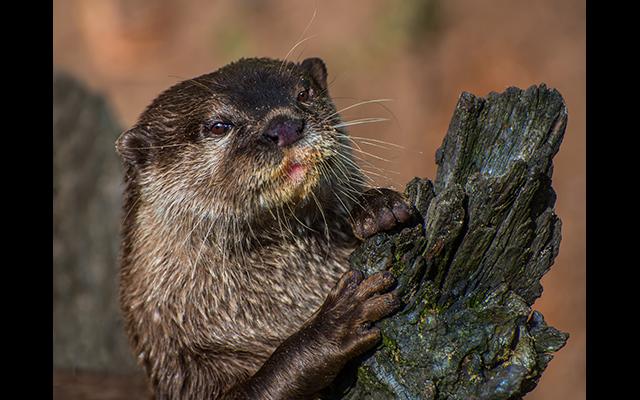 gallery_Otter Scratching Post Bob Stokoe