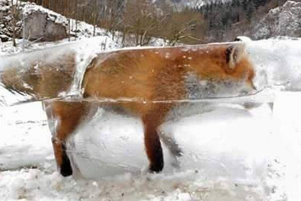 凍りついたドナウ川で、野生のキツネが氷に閉じ込められた状態で発見される