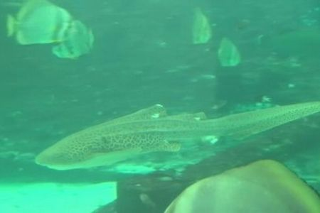 豪のサメが処女懐胎?交尾をせずにメスが子供を産む現象が確認される
