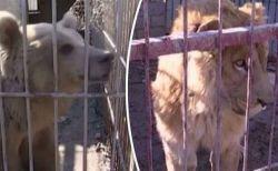 ISIS支配下の動物園で飢えに苦しんできた動物たち、唯一生き残った2頭が無事保護される
