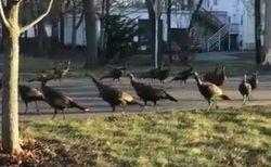 奇妙すぎる!猫を囲んで回り続ける七面鳥の群れが目撃される