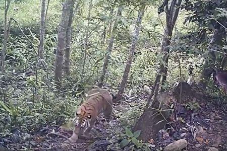 「まさに奇跡だ」タイで絶滅危惧種のトラの繁殖が確認される