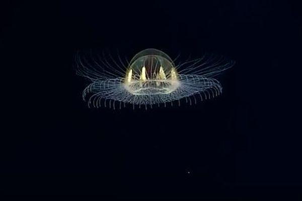 南の海で見つかった美しいクラゲ、海中で舞う姿は光るUFOのよう