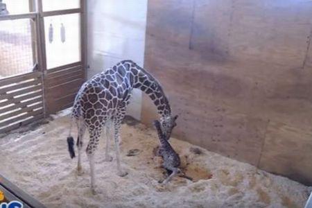 予定日を越えて皆に見守られてきたキリンの母親、ついにかわいい赤ちゃんを出産