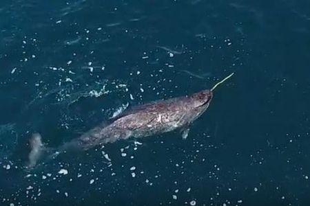 海のユニコーンと呼ばれるイッカク、角の使い方を初めて示したドローンの映像を公開