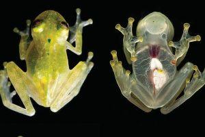 まるでシースルー!体が透明で心臓まで透けて見える新種のカエルを発見
