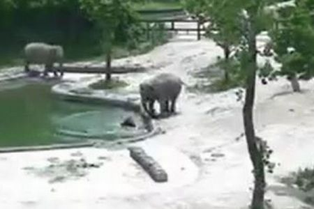 見事なチームワーク!プールで溺れる寸前の子供を大人のゾウが協力して救出