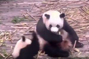 「どうして構ってくれないの!」食べ続ける母親にかんしゃくを起こすパンダの子供がかわいい