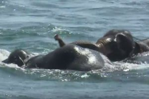 再びスリランカ海軍の船が、沖合に流された2頭のゾウを救助