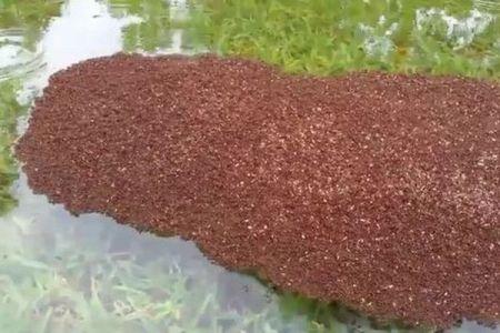 「ハービー」の洪水もへっちゃら!集団で水に浮いて生き抜くヒアリの生命力が驚異的【動画】