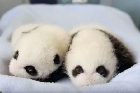 赤ちゃんパンダはどう育つ?生後100日間の様子を記録した動画がかわいい