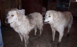 山火事で牧場に取り残された2匹の犬が、90頭の羊を火の手から守りぬく