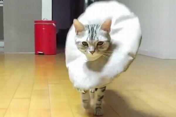 まさにキャットウォーク!カラーを揺らし歩いてくる子ネコの姿がモデル並み