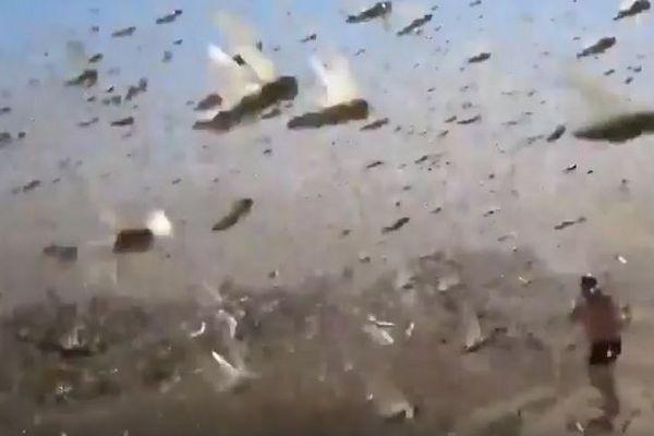 露南部でバッタが大量発生、巨大な群れの飛び交う姿が恐ろしい