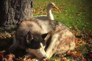 信じられないほど仲良し!親友を失くしたハスキー犬が選んだ次の友達はアヒルだった