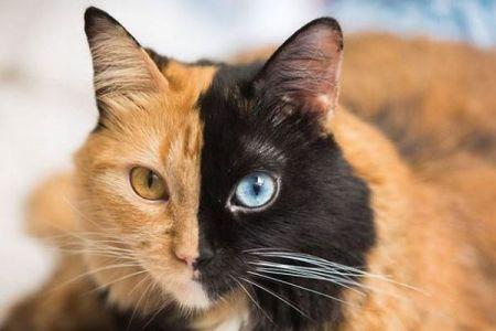 左右の色が異なっている!2つの卵子から生まれた「キメラ・ニャンコ」が話題に