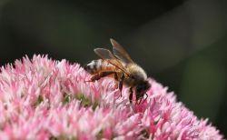 フランス政府、ミツバチに悪影響を与えるとして、米国産殺虫剤2種の販売を中止