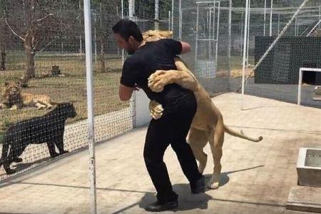 危ない!と思いきや、飼い主と久しぶりに再会して甘えるライオンの姿がカワイイ