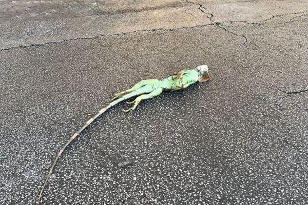 気温の低下により、動かなくなったイグアナがフロリダで多く発見される