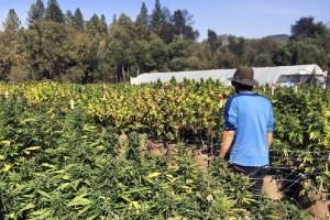 米国で合法大麻関連業が急成長、従事する人の数はなんと歯科衛生士以上に