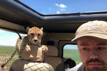 突然、車内に野生のチーターが乗ってきた!恐怖の瞬間を捉えた動画が話題に