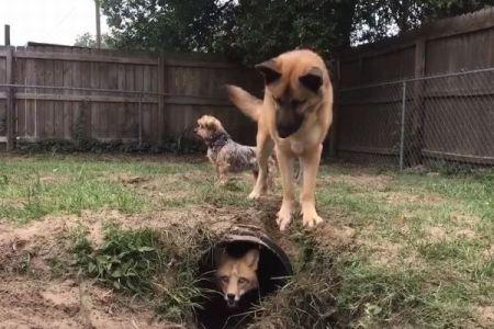 穴へ入ったり出たり!キツネがワンコを困惑させる追いかけっこが面白い