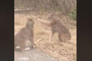 声を張り上げ威嚇し合う2匹のオオヤマネコ、米で貴重な映像が撮影される