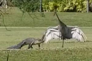翼を広げてワニに立ち向かい、背後の家族を守り抜いたオスのツルがすごい!