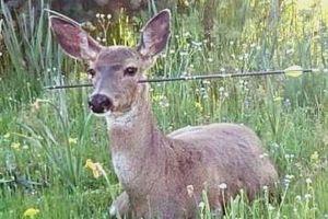 これはひどい!頭や身体に矢が刺さったままのシカが2頭目撃される