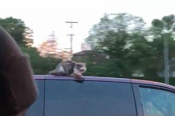 高速道路を走る車にネコ!?必死で屋根にしがみつく映像にヒヤヒヤ