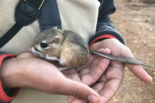 絶滅したと考えられていたカンガルー・ラット、メキシコでの調査で生存を確認