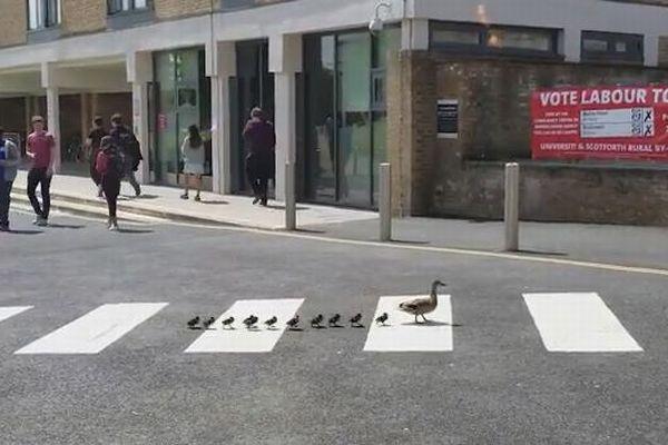 「ちゃんと横断歩道を渡るのよ」カモの親がヒナに教えるような姿がかわいい