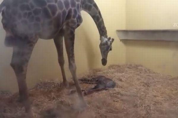 ポルトガルの動物園でキリンが落下し死亡、原因は見学者の規則違反だった