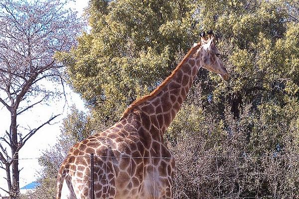 南アフリカの野生動物公園で、撮影中の映画監督がキリンに殴打され死亡する