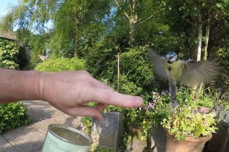 人間の指にとまる野生のアオガラ、珍しい瞬間を捉えた動画が話題に