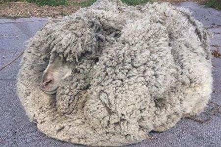 その重さはなんと30kg!驚くほど大量の毛をまとった野生の羊が発見される